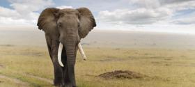 elefantgeafricano