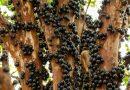 https://www.greenme.it/informarsi/natura-a-biodiversita/jabuticaba-albero-frutti-tronco/?fbclid=IwAR2fKwr1viTD8WmItjeznG8Ym8afTj515QwM78QpvfpFe7VBDJ2ynCRKrTI