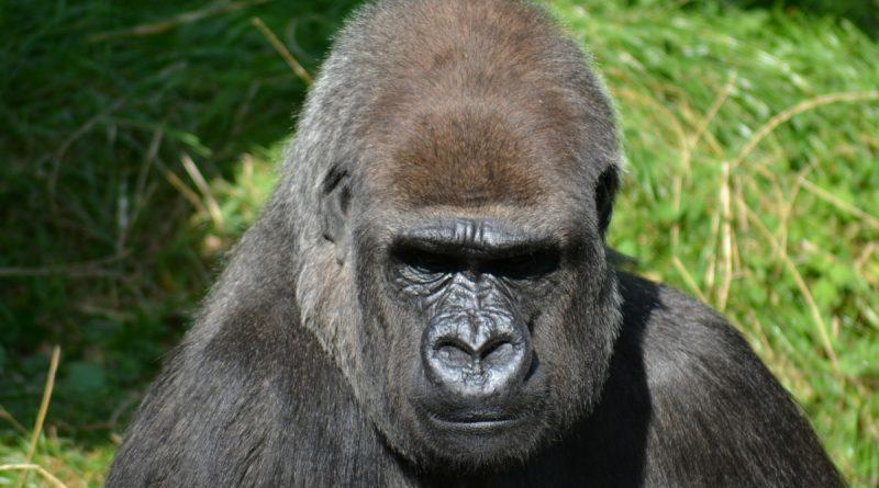 https://www.lastampa.it/la-zampa/altri-animali/2021/08/01/news/in-africa-gli-scimpanze-uccidono-i-gorilla-e-la-prima-volta-e-colpa-del-surriscaldamento-climatico-e-della-fame-1.40556763?fbclid=IwAR3Zf5UrAim4iReZ5GEp_Xg_f_d6UsbazGxl0Yj18byqKzvU3LnJ8ZiRmNg