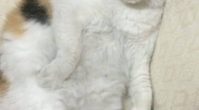 Messina :smarrita gatta tricolore zona salita monte Santo dietro ospedale piemonte